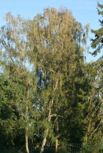 gul björk 11 juli 2014